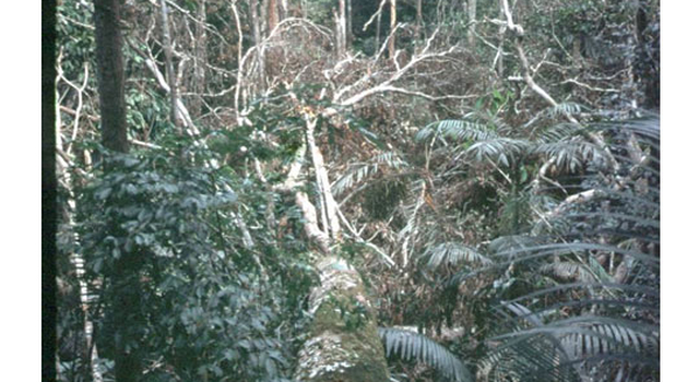 A downed tree stretches across the Amazon forest floor in an area near Manaus