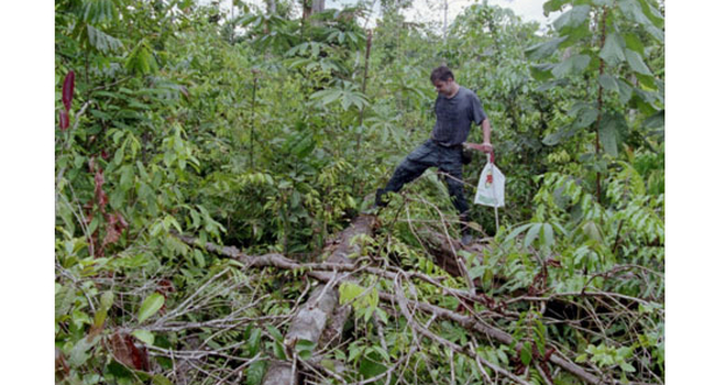 Brazil, examines a fallen tree in an area where trees were blown down by a storm in the Amazon forest.