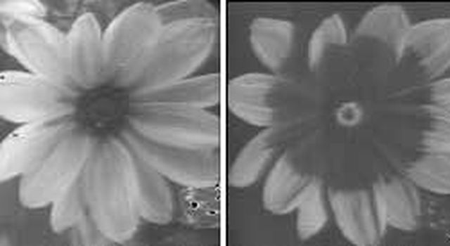 A Black-Eyed Susan as seen by human, left, and bees, right
