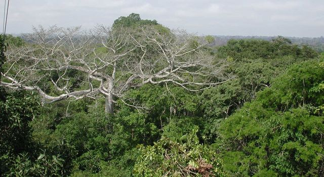 Dead tree in the Amazon rainforest in western Brazil