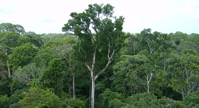 Old-growth Amazon tree canopy in Tapajós National Forest, Brazil.