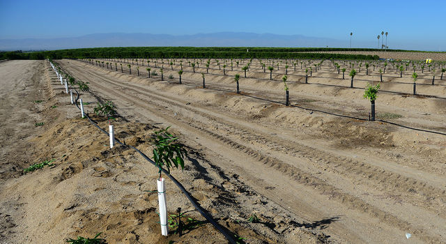 Newly-planted almond trees on a San Joaquin Valley farm
