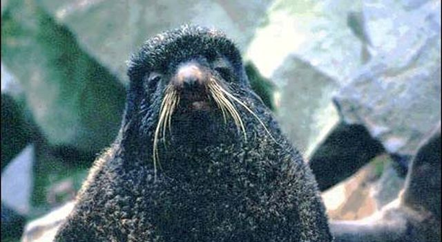 Northern fur seal bull