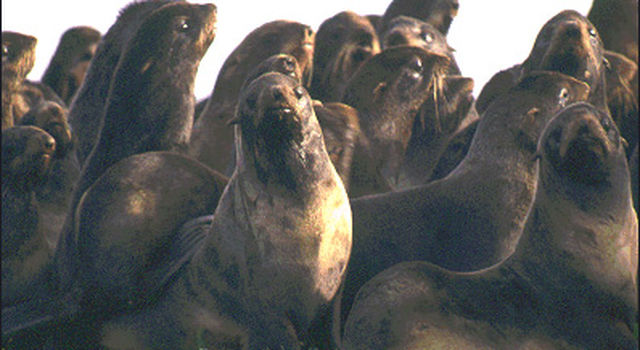 Group of northern fur seals