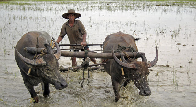 Rice paddies and ruminants are natural sources of methane