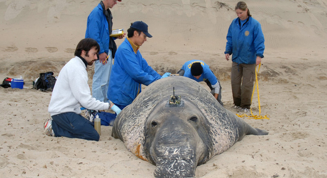 field team attaches tag to elephant seal