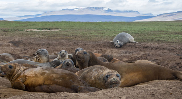 Female elephant seals basking