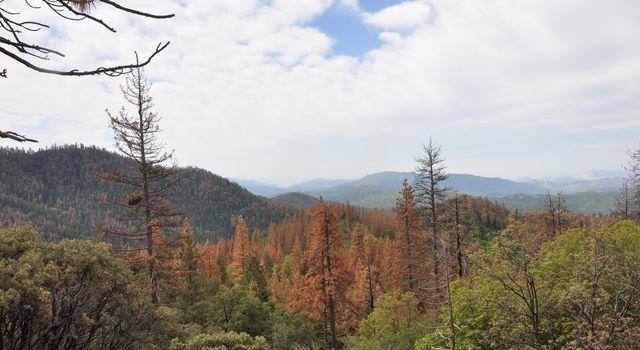 Dead and dying ponderosa (Pinus ponderosa) and sugar (P. lambertiana) pine