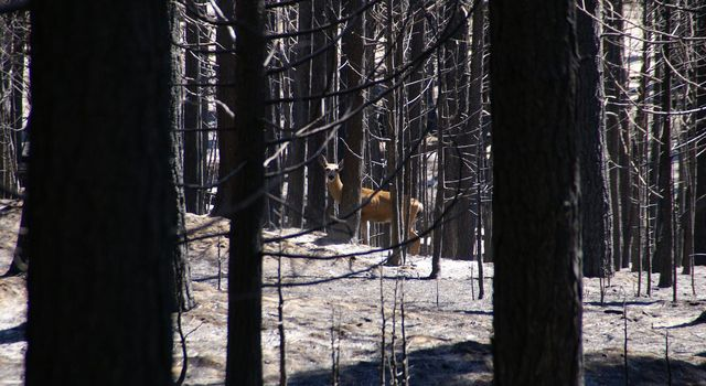 A doe returns to its home range after the Rim fire.