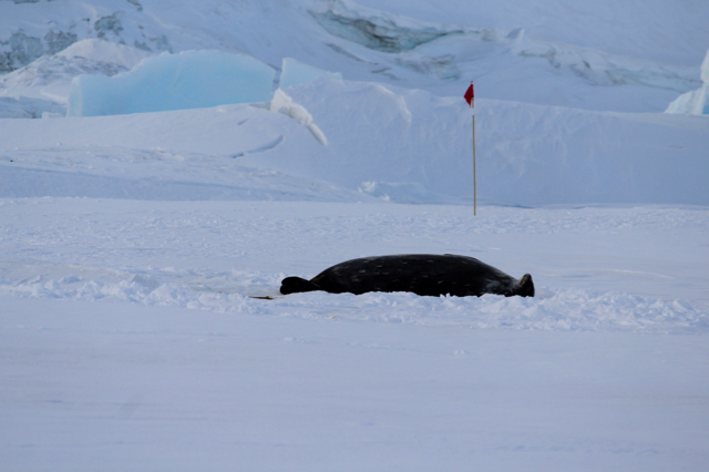 A Weddell Seal lying down on the ice