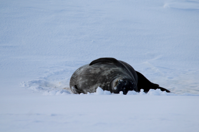 A Weddell Seal rubbing his belly