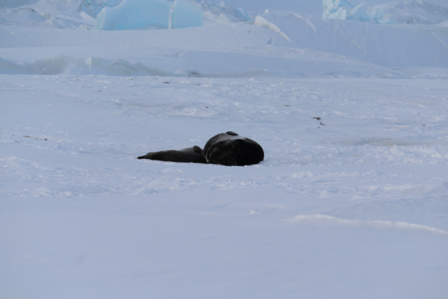 A Weddell Seal who had just given birth to her cub