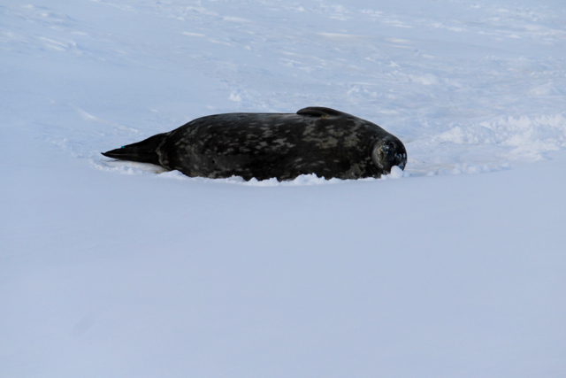 A Weddell Seal lying on his side